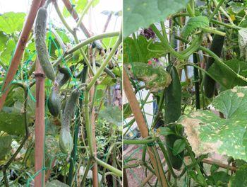 キュウリ栽培から収穫までの一連の流れ 7月30日数少なくなったキュウリ