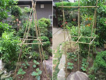 キュウリ栽培から収穫までの一連の流れ 6月6日キュウリの支柱作り
