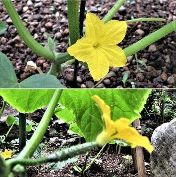 キュウリ栽培から収穫までの一連の流れ 6月12日キュウリの花