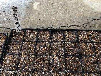 葉牡丹 F1 桃つぐみ 種から育てます❗️ 7月25日 葉牡丹の種まきをしました