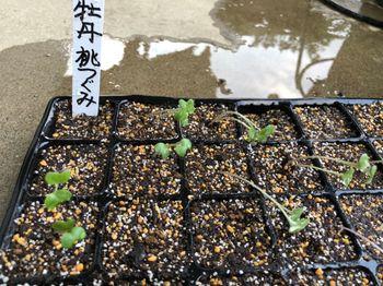葉牡丹 F1 桃つぐみ 種から育てます❗️ 8月1日 梅雨明け☀️☀️ カイワレ状態