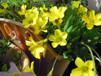 去年からの増えた球根から沢山の花を見てみたい 晴天の朝のナマクエンシス