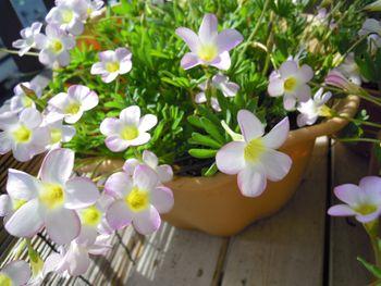 去年からの増えた球根から沢山の花を見てみたい きれいに咲いていますNO1