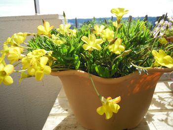 去年からの増えた球根から沢山の花を見てみたい きれいに咲いていますNO2