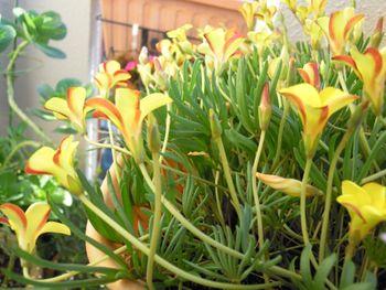 去年からの増えた球根から沢山の花を見てみたい 横から見たナマクエンシス