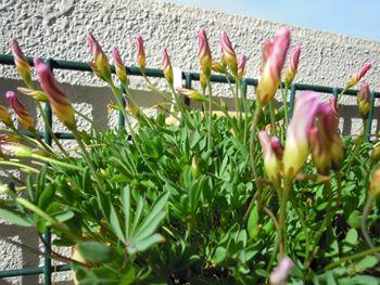 去年からの増えた球根から沢山の花を見てみたい くるくる巻きの蕾 パルマピンク