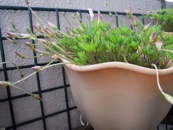 去年からの増えた球根から沢山の花を見てみたい 播種から二か月後  パルマピンク