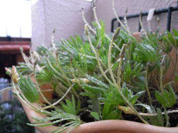 去年からの増えた球根から沢山の花を見てみたい ナマクエンシス