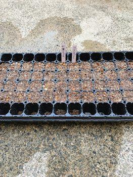 葉ボタン、タネから育ててみる❗️(一部、矮化剤使用アリ) 種蒔き🌱