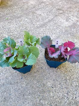 葉ボタン、タネから育ててみる❗️(一部、矮化剤使用アリ) 挿し芽に挑戦✊