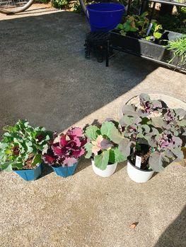 葉ボタン、タネから育ててみる❗️(一部、矮化剤使用アリ) 遅く植えた組と、挿し芽組のその後。