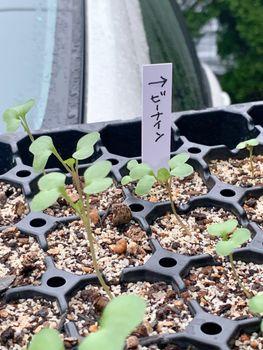 葉ボタン、タネから育ててみる❗️(一部、矮化剤使用アリ) 普パトラとビーパトラ。