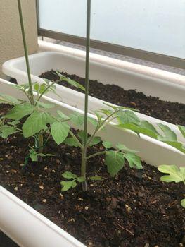ミニトマトの食べ放題を夢見て ミニトマトの苗っぽい+植え替え