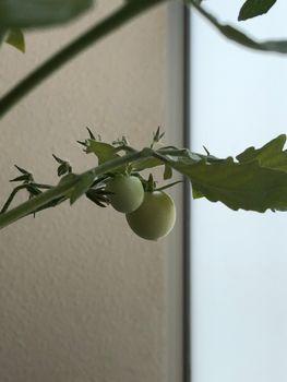 ミニトマトの食べ放題を夢見て 実がなった