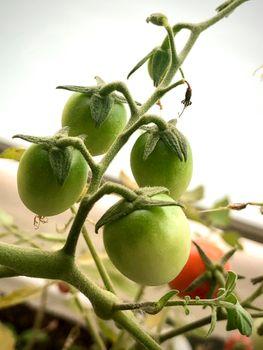 ミニトマトの食べ放題を夢見て それなりに実がなる