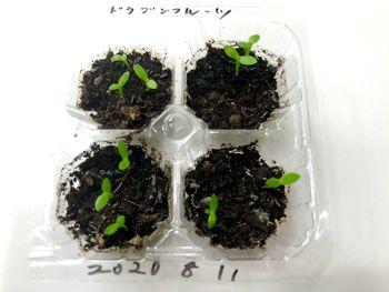 ドラゴンフルーツを種から育てたい ほぼ100%の発芽率