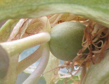 2020年 鉢植えのパッションフルーツ 5/28 実が成長
