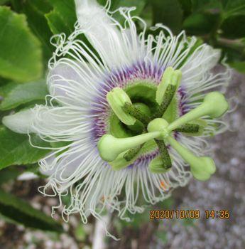 2020年 鉢植えのパッションフルーツ 10/9 秋1個目の開花