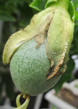 2020年 鉢植えのパッションフルーツ 10/18 実が成長