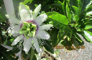 2020年 鉢植えのパッションフルーツ 10/18 今秋の2個目開花
