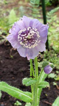 今一番見たい花、ホリデュラ🌼 9月11日 待望の花が咲きました🌼