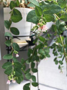 シンフォリカルポス(雪晃木)の白い実を実らせてX'masに飾る! 秋の開花