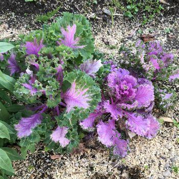 【葉牡丹②】2年目、秋まきと多粒まき 花が咲きそうです
