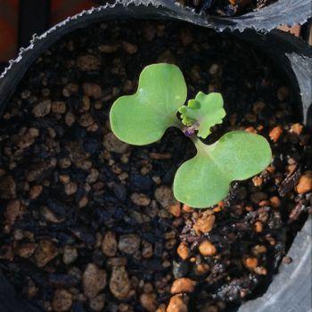 【葉牡丹②】2年目、秋まきと多粒まき 本葉が出ました