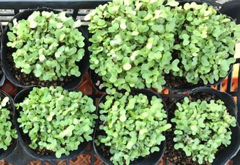 【葉牡丹②】2年目、秋まきと多粒まき 実験②/多粒蒔き、こうなりました