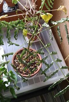鳳凰木 実生 #2 葉が乾燥しカサカサに