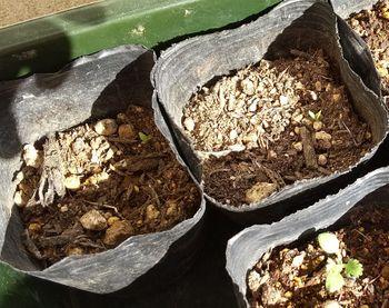 ペラルゴニウム アッペンデイクラーツムを種から育てる 2020/11/23 さらに2つ発芽