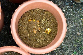 一般的なオリエンタルゆりの植え替え 植える深さは球根3個分