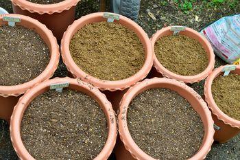 一般的なオリエンタルゆりの植え替え 8~9分目くらいまで用土を足して