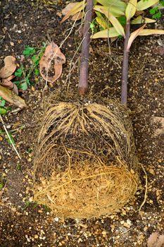 一般的なオリエンタルゆりの植え替え 順調に生育していれば根鉢が出来ているはず