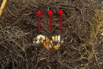 一般的なオリエンタルゆりの植え替え 球根の上の根(上根)を押し上げる
