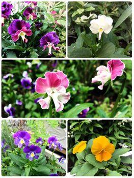 fin:ぞうさんビオラ 咲かせられるか 一通り開花