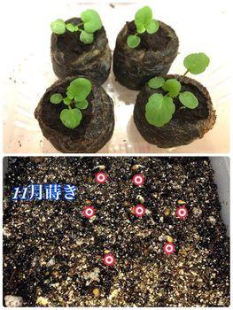 fin:ぞうさんビオラ 咲かせられるか 何回も少しずつ種蒔き