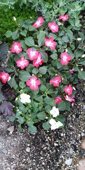 インパチェンスの冬越しと挿し芽 花が咲きました