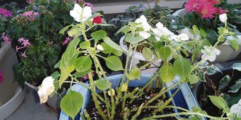 インパチェンスの冬越しと挿し芽 親株の鉢上げ