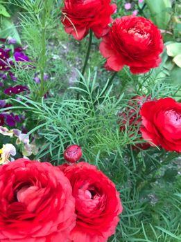 初心者が育てるラナンキュラス 次々花を咲かせてくれています