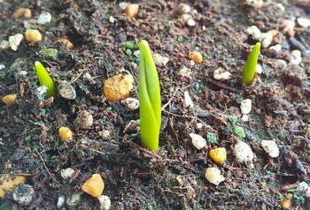 原種系チューリップを育てる 2週間で芽が出ました🌱