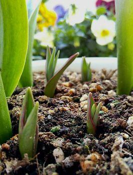 原種系チューリップを育てる 新たに4つの芽