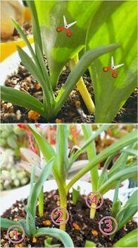 原種系チューリップを育てる 咲かない1枚葉を切る