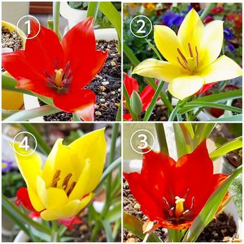 原種系チューリップを育てる 花が咲きました。