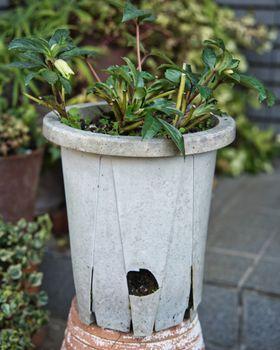 クリスマスローズの植え替え 鉢は壊れています!