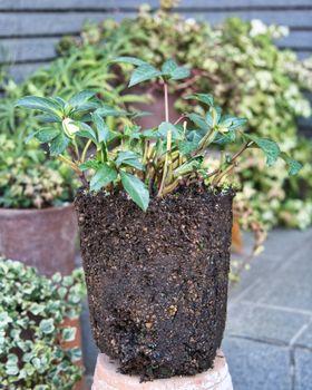 クリスマスローズの植え替え 根鉢の状態。。。