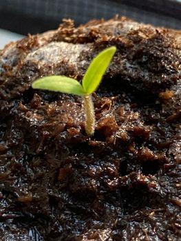 マイクロトマト チャレンジ2021🎵 子葉❣️