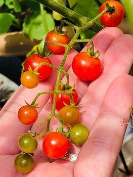 マイクロトマト チャレンジ2021🎵