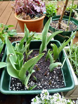 チューリップ 鉢植え 密植 メヌエット2種発芽できてないものも