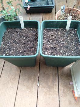 チューリップ 鉢植え 密植
